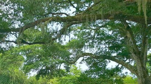 Spanish Moss – Love It or Hate It, It Just Hangs On