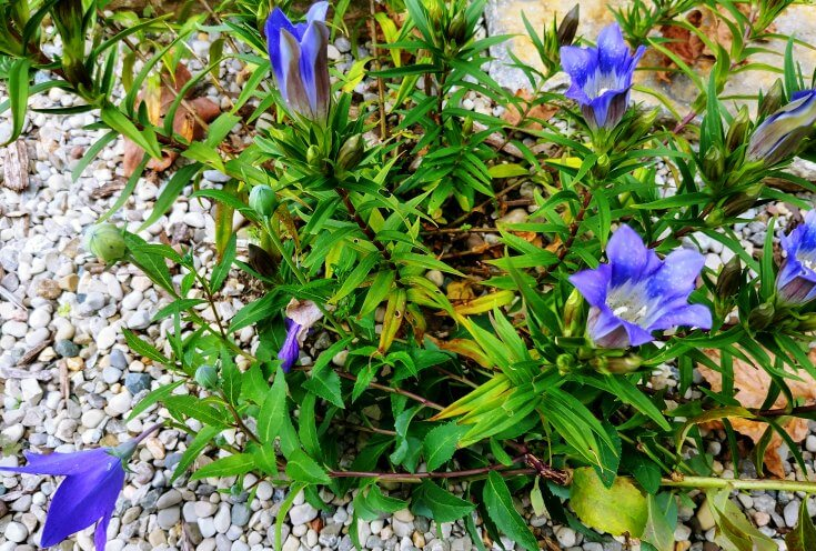 Bottle Gentian with Balloon flower leaning into the plant
