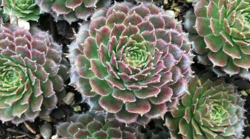 Color Transitions – A Succulent's Beauty