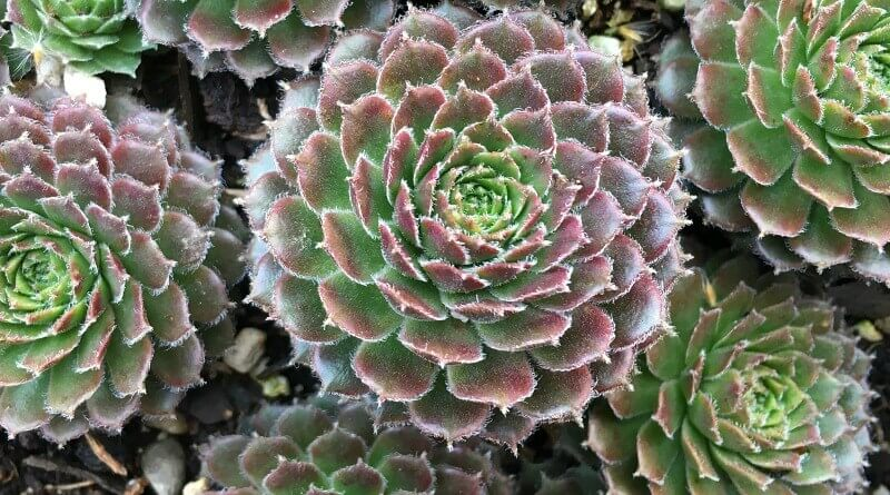 Color transitions - A Succulent's Beauty