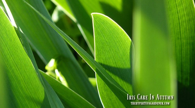 Iris care in autumn