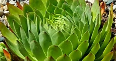 Growing Hens and Chicks - Mrs Hen