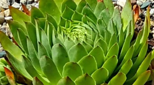 Growing Hens and Chicks or Biddies – RIP Mrs Hen