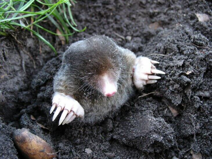 Moles peeking above the ground.