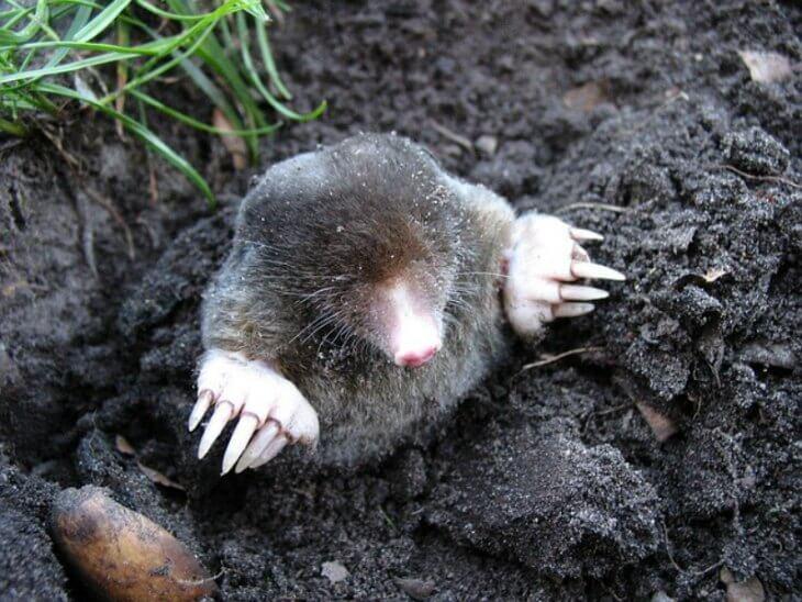 Moles peeking above the ground.
