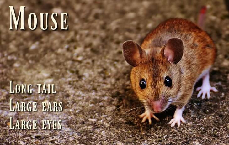 A mouse is a rodent