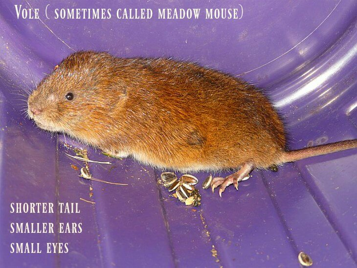 "The more ""homely"" vole."