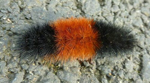 3rd Annual Woolly Bear Prediction