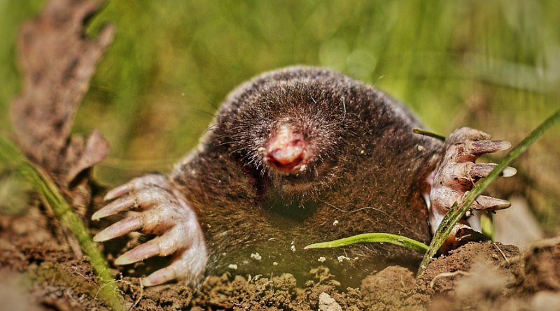 how to kill moles in garden