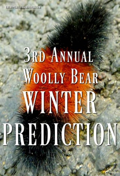 Woolly bear predicts the winter
