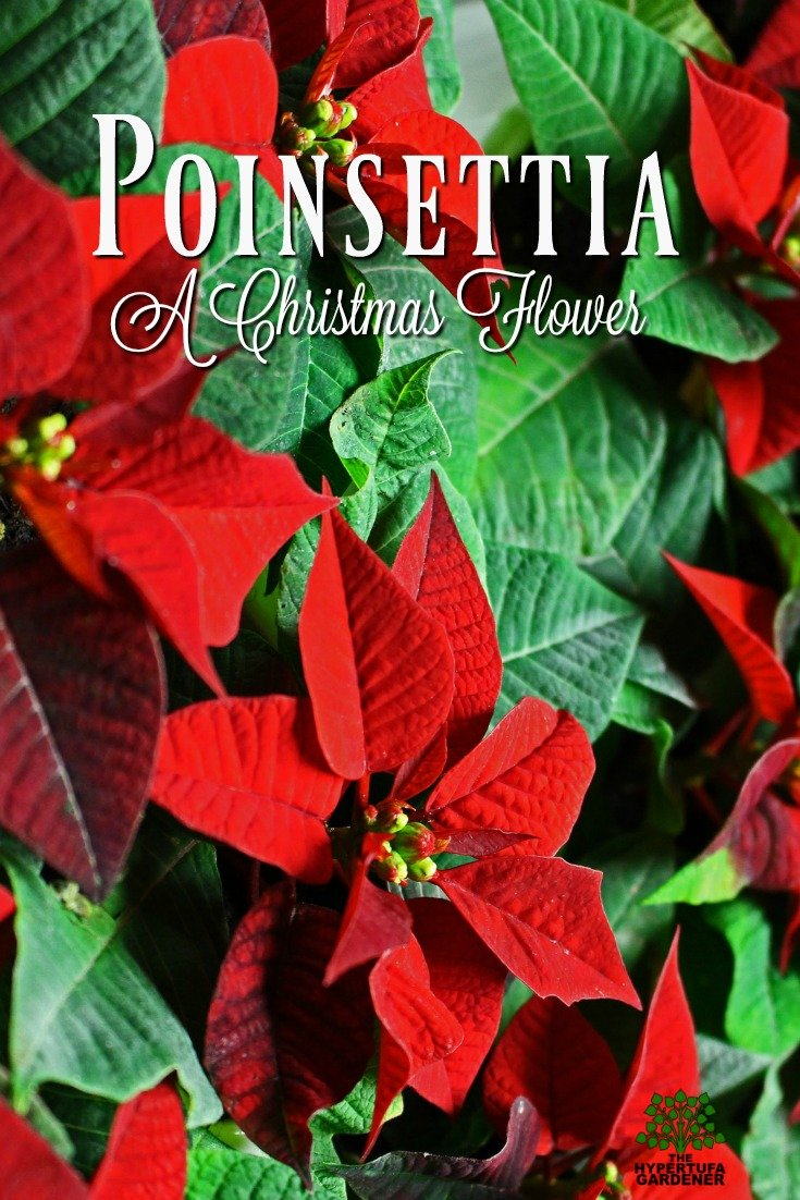 The Poinsettia is a Christmas Flower which can be grown all year. There is quite a history for this flower...