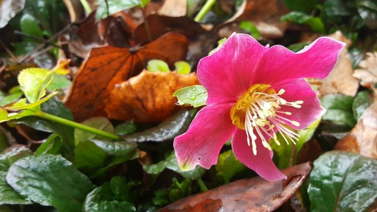 March 7 2017 My Hellebore