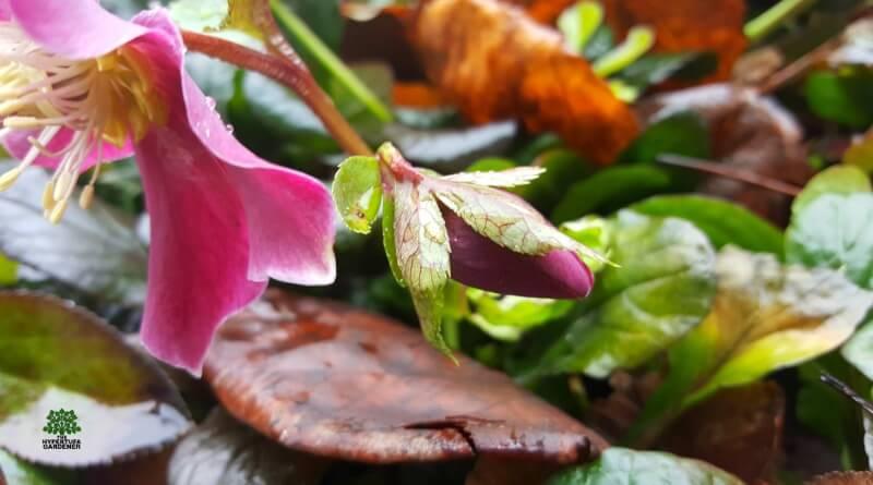 My Lenten Rose or Hellebore - It Finally Bloomed!