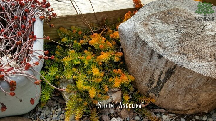 Sedum Angelina at the beginning of spring