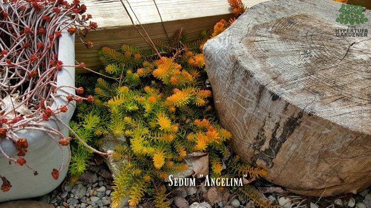 Sedum Angelina at the beginning of spring