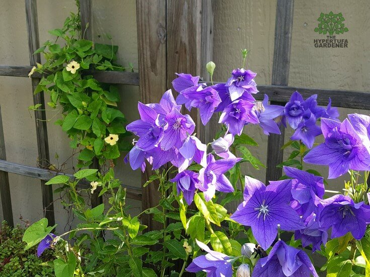 Balloon Flowers in my replanted box