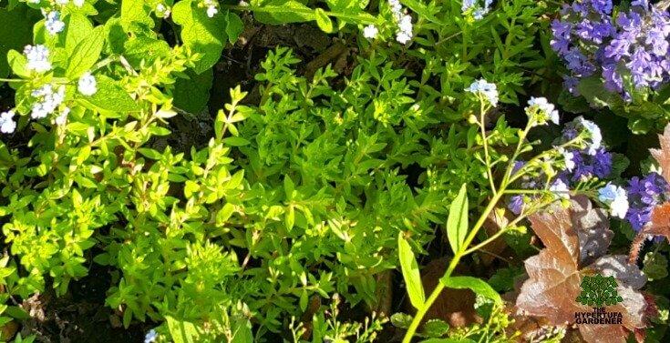 Gold Moss or Stringy Moss - Sedum sarmentosum