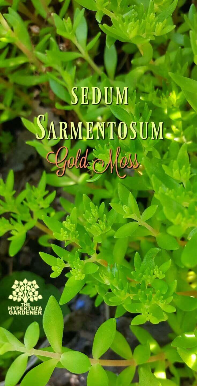 Sedum sarmentosum Gold Moss