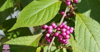 Pruning Flowering Shrubs – American Beautyberry Bush
