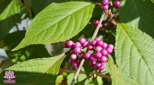Pruning Flowering Shrubs – American Beautyberry Bush