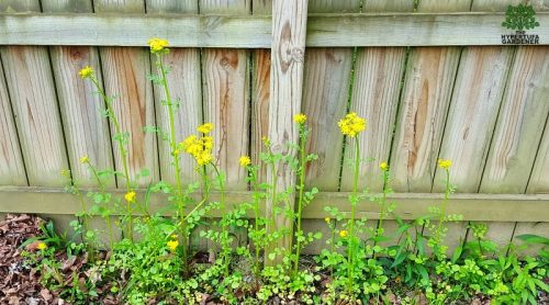 Gorgeous Butterweed –  She's The Devil in Disguise!