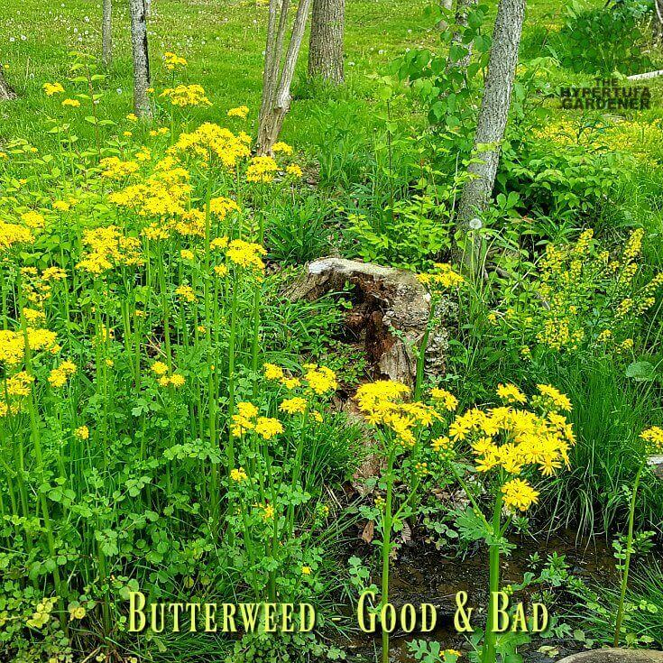Butterweed - It is good and bad(1)(1)(1)