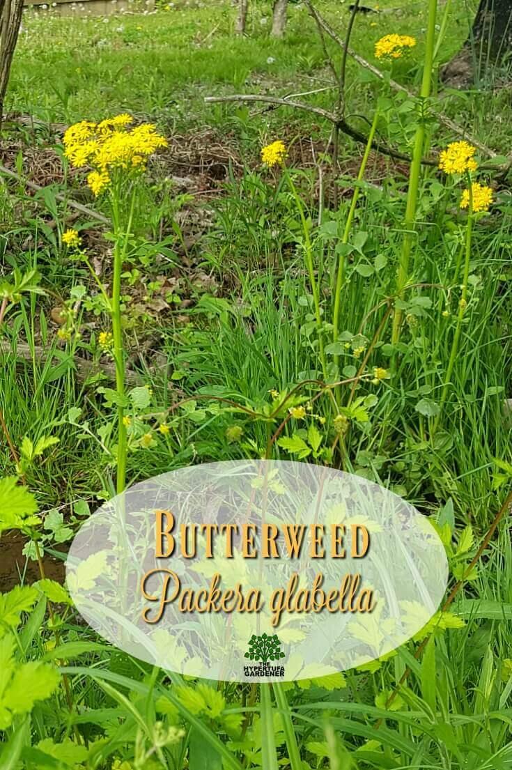 Butterweed - Packera glabella
