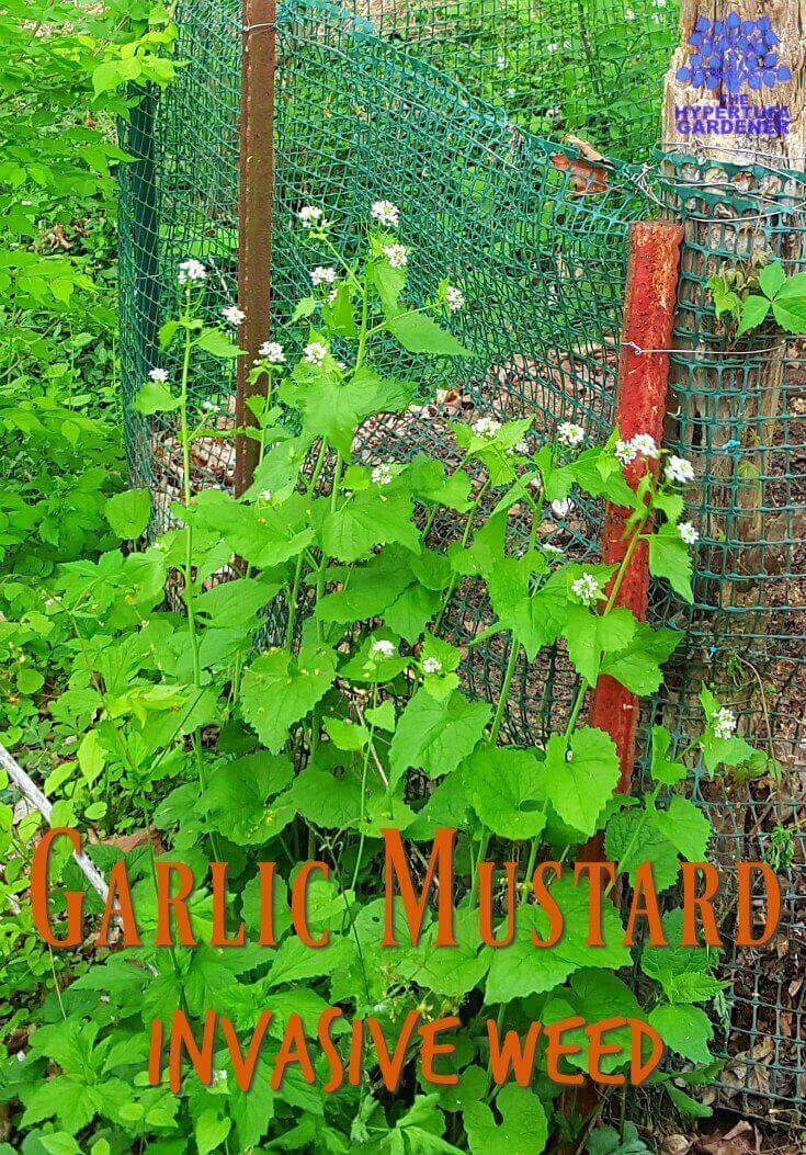Invasive Garlic Mustard - Get rid of this one