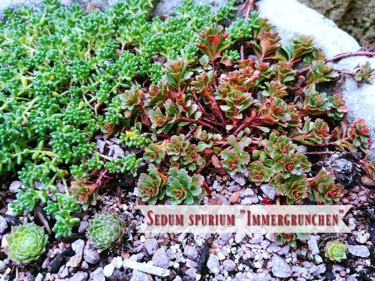 My unknown sedum finally named. Immergrunchen !