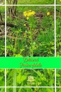 Packera glabella - Butterweed - Native plant to USA !