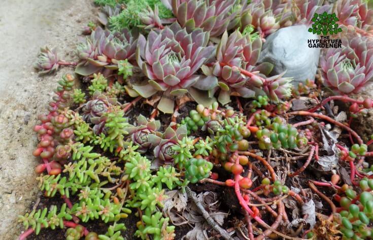 Succulents in Hypertufa - including sedum divergens(1)