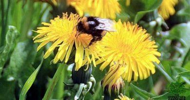 Bumblebee nest in my garden
