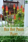 Red Hot Poker Plant - Love It or Leave It - It is hard to decide.