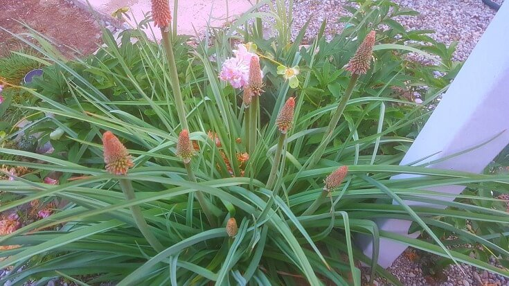 Red Hot Poker Plant emerging in spring with many blossoms