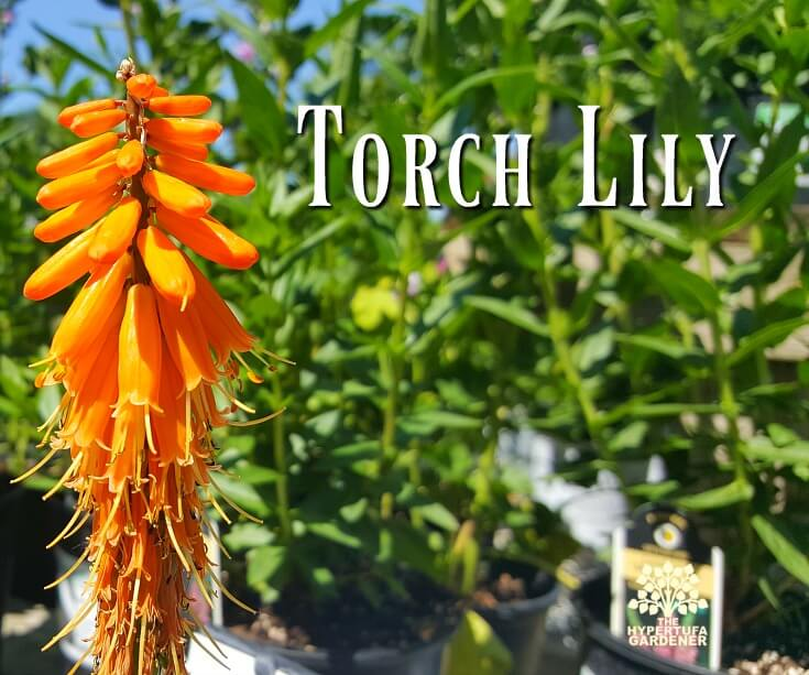 Red Hot Poker Plant is also called Torch Lily