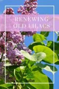 Renewing Old Lilacs - Do this as soon as they are finished blooming!