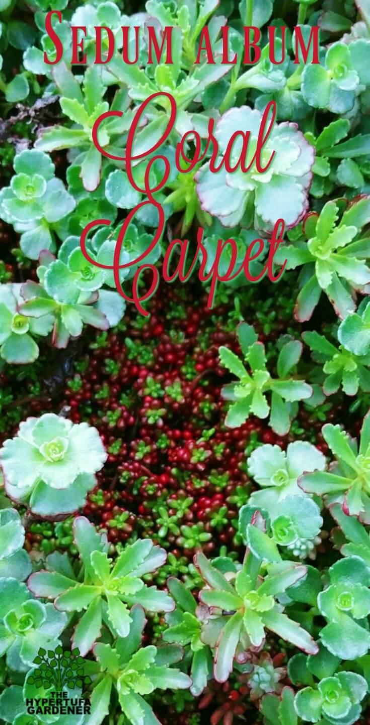 Sedum album Coral Carpet - grows tightly in sunny locations