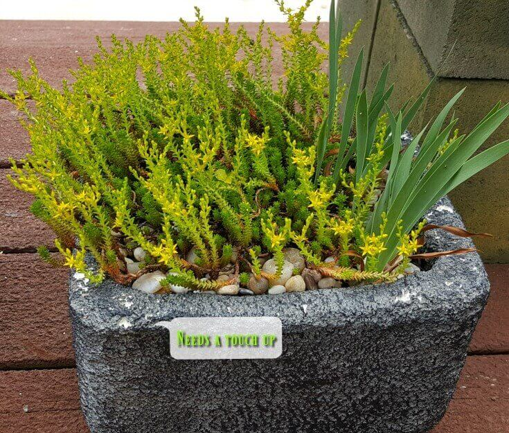 Styrofoam planters coated with cement - Sedum sexangulare in bloom - cement coating needs touch up