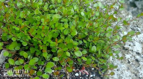 Plant Pick: Creeping Wire Vine….Say What?