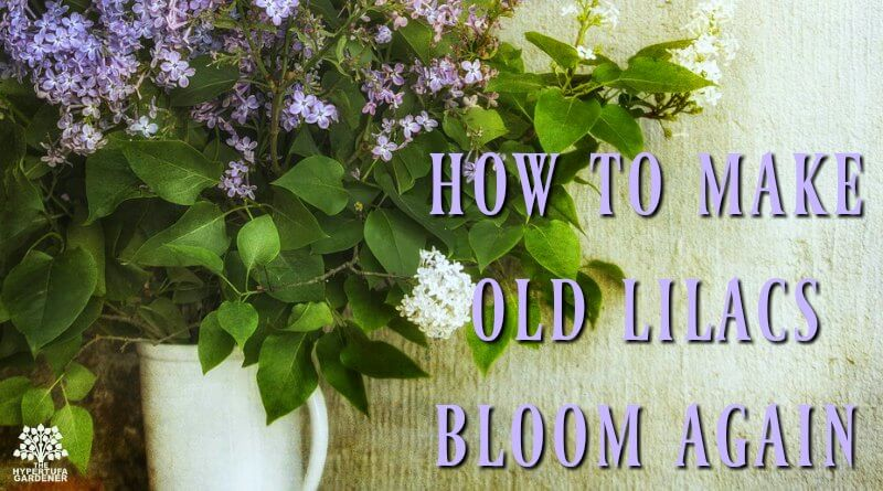 How to make old lilacs bloom again next spring
