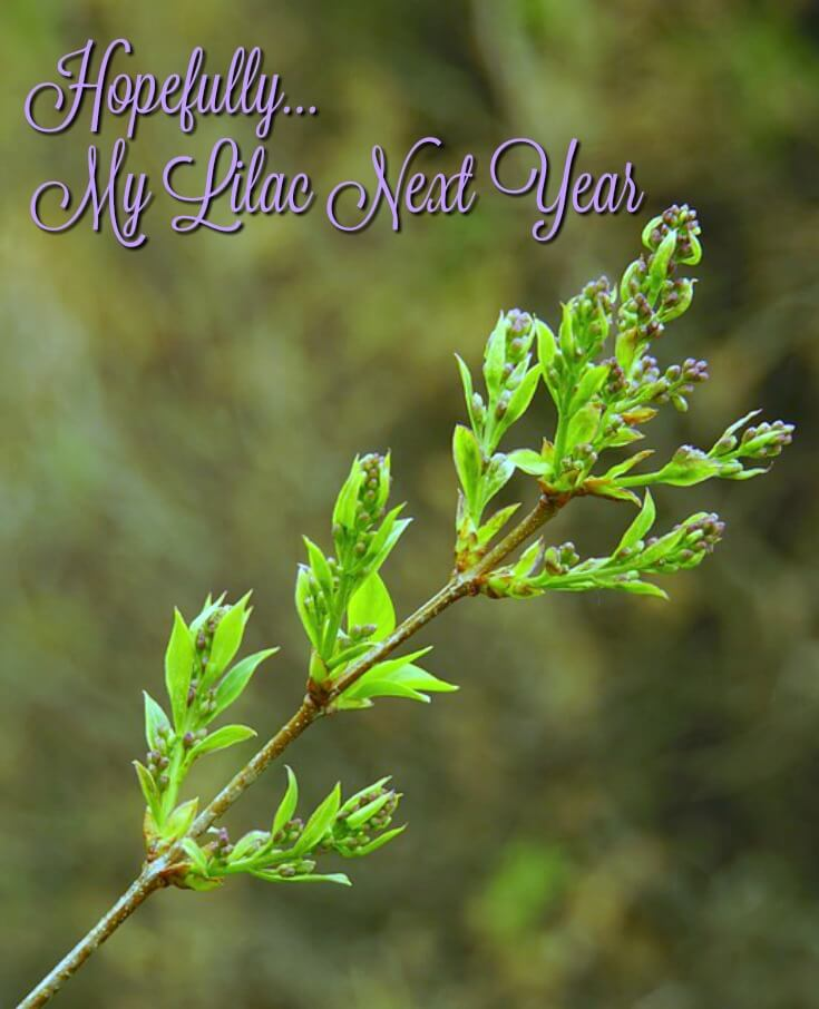 image of budding lilac branch in spring