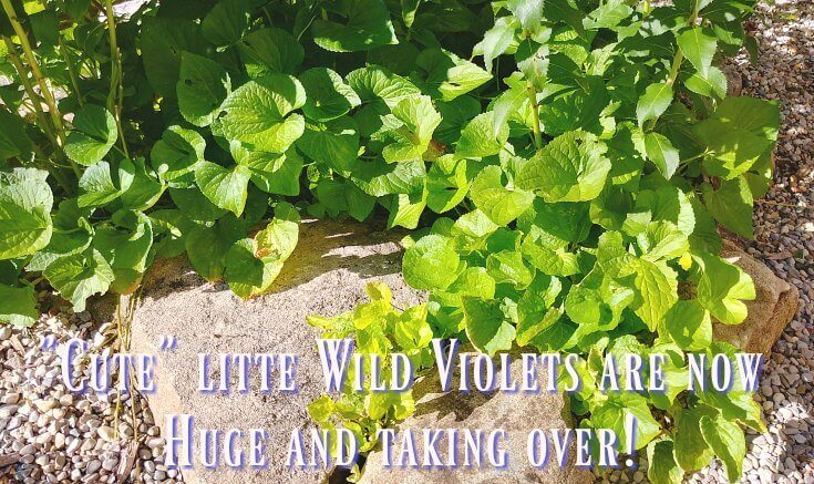 Backyard garden - wild violet takeover