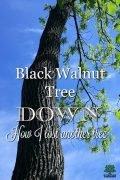 Losing my black walnut tree.
