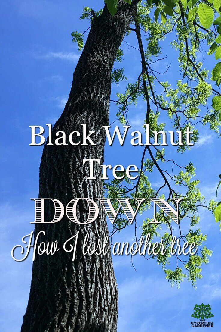 Losing another tree - One of my favorites - the Black Walnut Tree