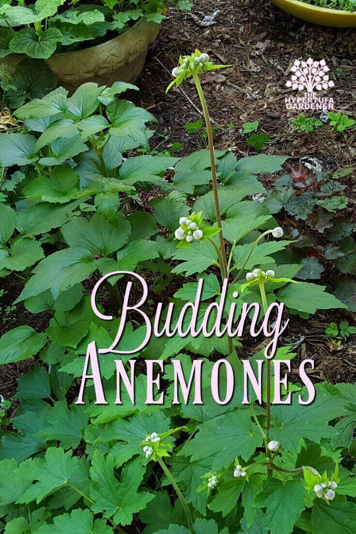 Budding Anemones in Late Summer