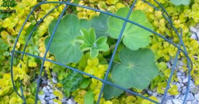 Lady's mantle protected in a cage made with a frame of the hanging pot