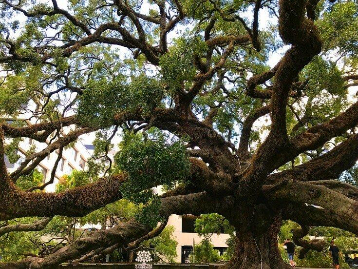 250 year old Treaty Oak in Jacksonville FL. Worth the trip