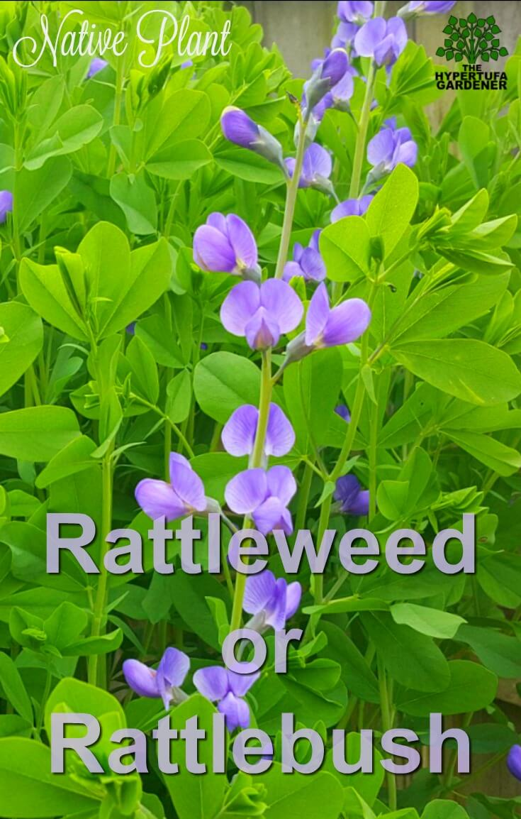 Indigo Plant - Blue False Indigo