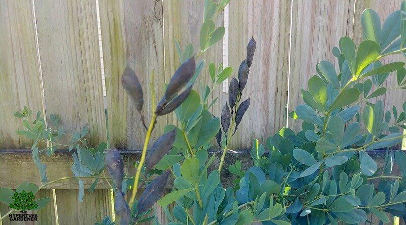 Indigo Plant - Rattleweed - Baptisia australis