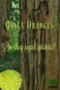 Osage Orange. Collect them in the fall for warding off spiders around the house foundation.